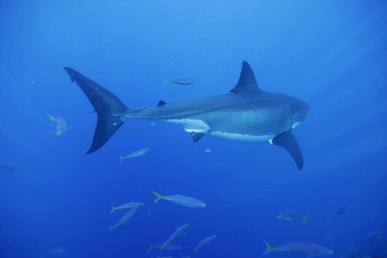 Sharks badly loved because they are badly known tendua for Shark tail fish